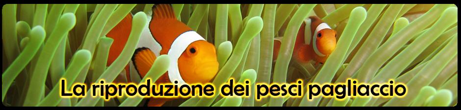la riproduzione dei pesci pagliaccio