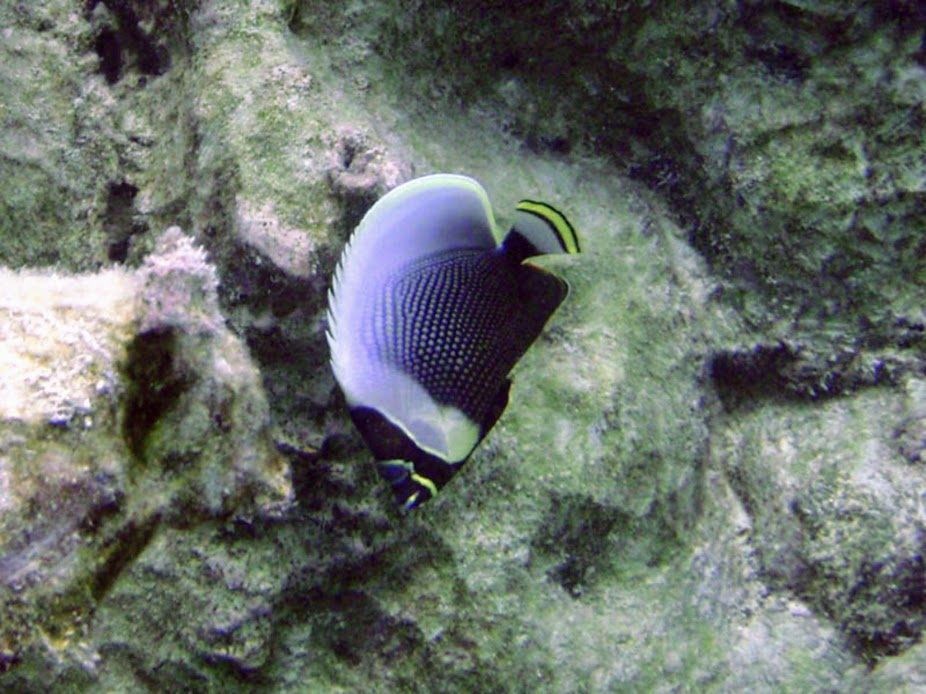 Chaetodon reticulatus (Reticulated Butterflyfish), Rarotonga.