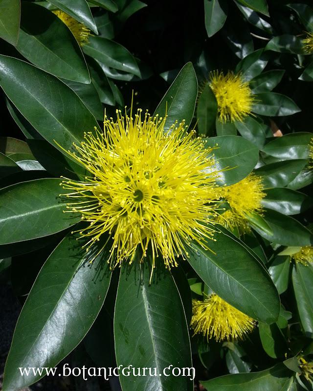 Xanthostemon chrysanthus, Golden Penda