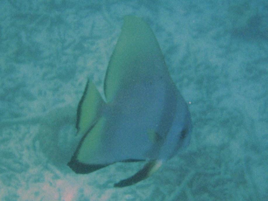 Platax orbicularis (Circular Spadefish), Naigani Island, Fiji.