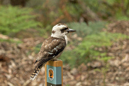 Kookaburra - Royal National Park, NSW