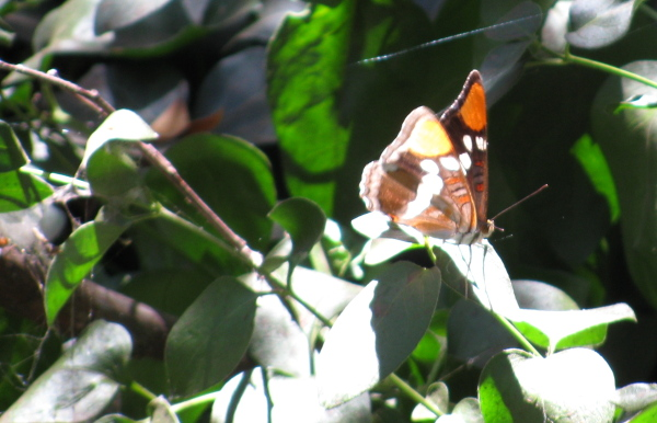 another butterfly on safe, introduced plant