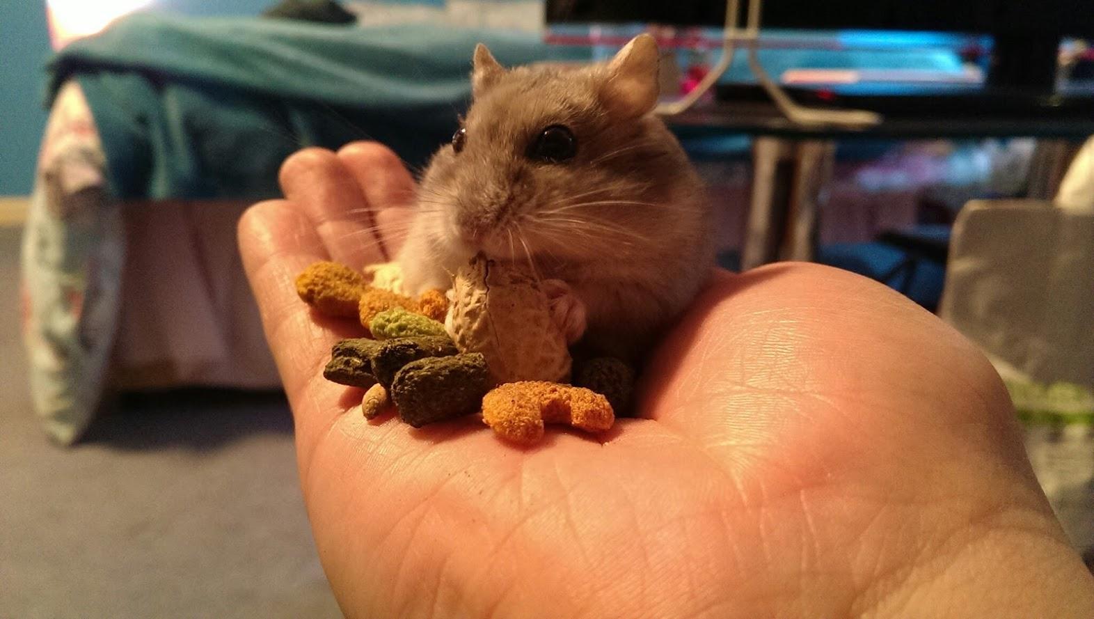 Tame Russian Dwarf Hamster