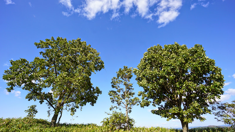 美瑛 親子の木 写真1
