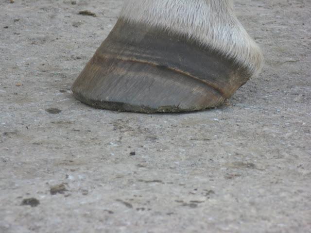 Besoin d'avis et conseils sur les pieds de mon cheval IMG_2154