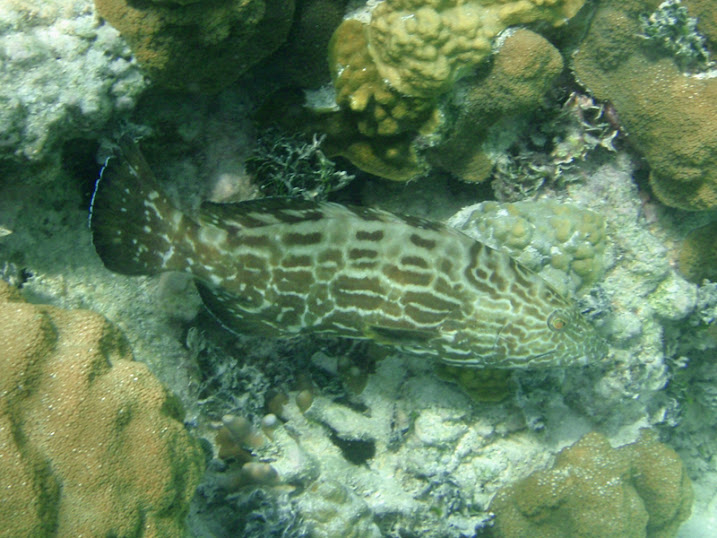 Mycteroperca bonaci (Black Grouper) near Tranquility Bay Resort.