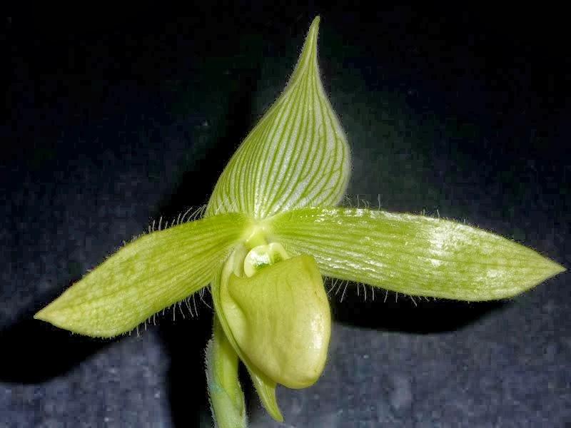 Paphiopedilum sukhakulii f. aureum P1180681