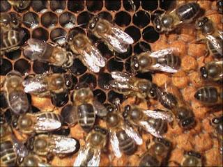 abejas en su colmena