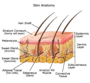 skin anatomy.jpg