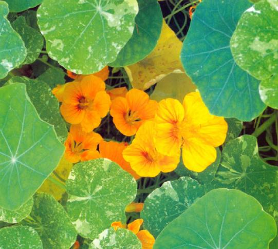 Настурция история, настурция выращивание, семена настурции и уход