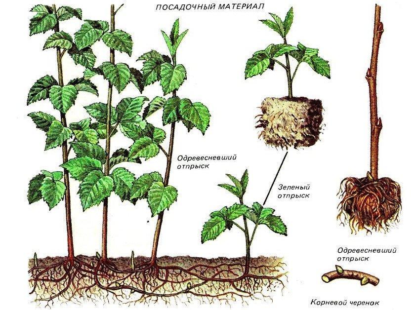 Как правильно посадить ремонтантную малину осенью
