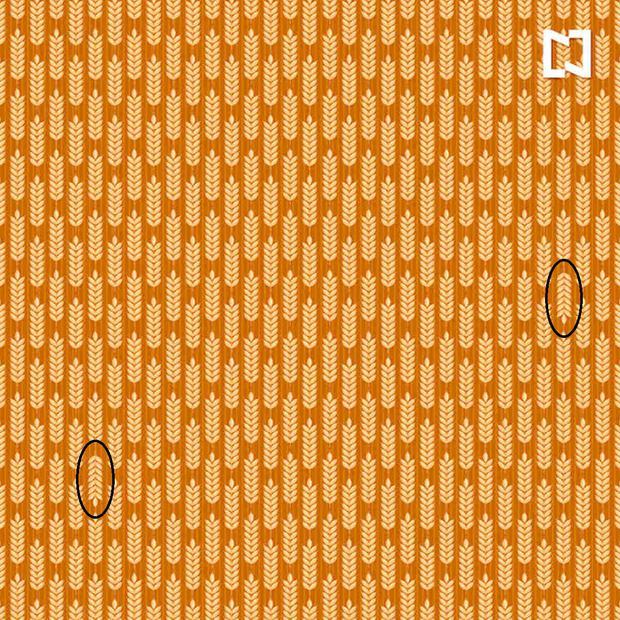 Aqui estão os ramos de trigo diferentes do resto.  (Foto: Noticieros Televisa)