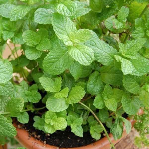 mint-puthina-plant