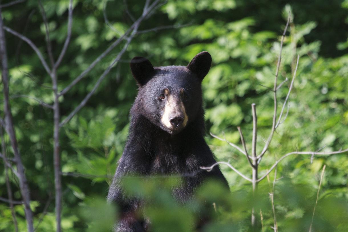 Canada, Outrage In Canada, Environmentalist, Bear, Bear Hunting, Kyle Ferguson, Alberta, Ministry of Environment, Bowman, Josh Bowman