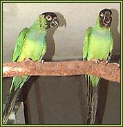 Nanday Conures - Nandayus nenday. Photograph courtesy of Garry & Shirley Walsh, Westbrook, Queensland