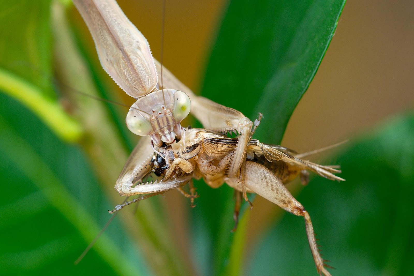 Mantis eating a cricket