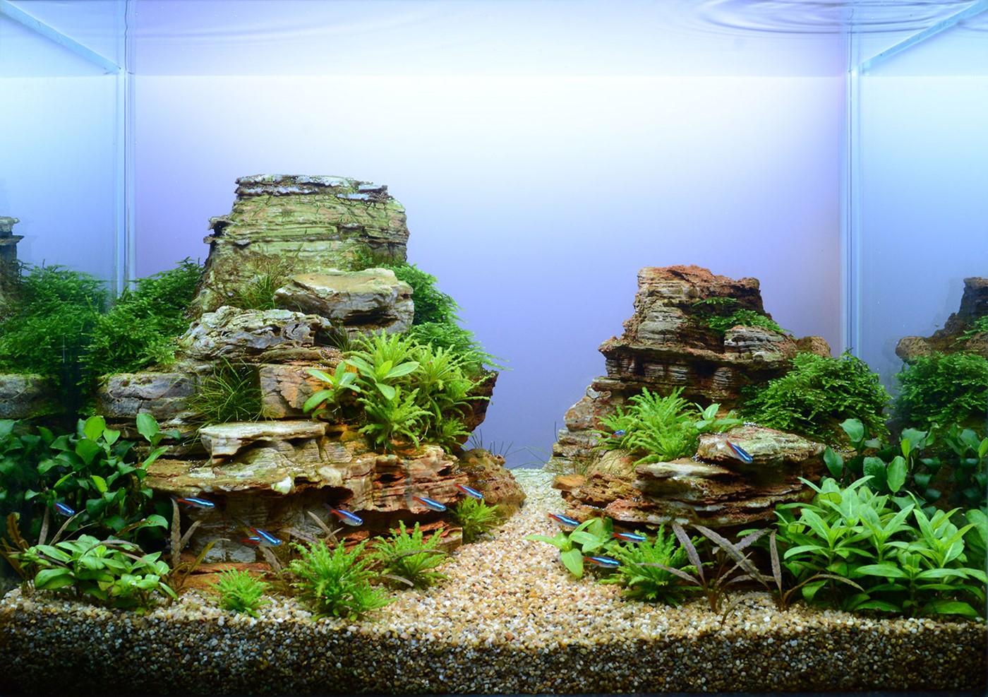 neon tetra aquarium