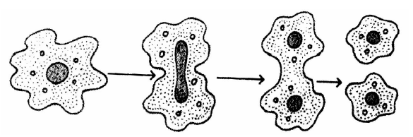 Reproduction In Organism