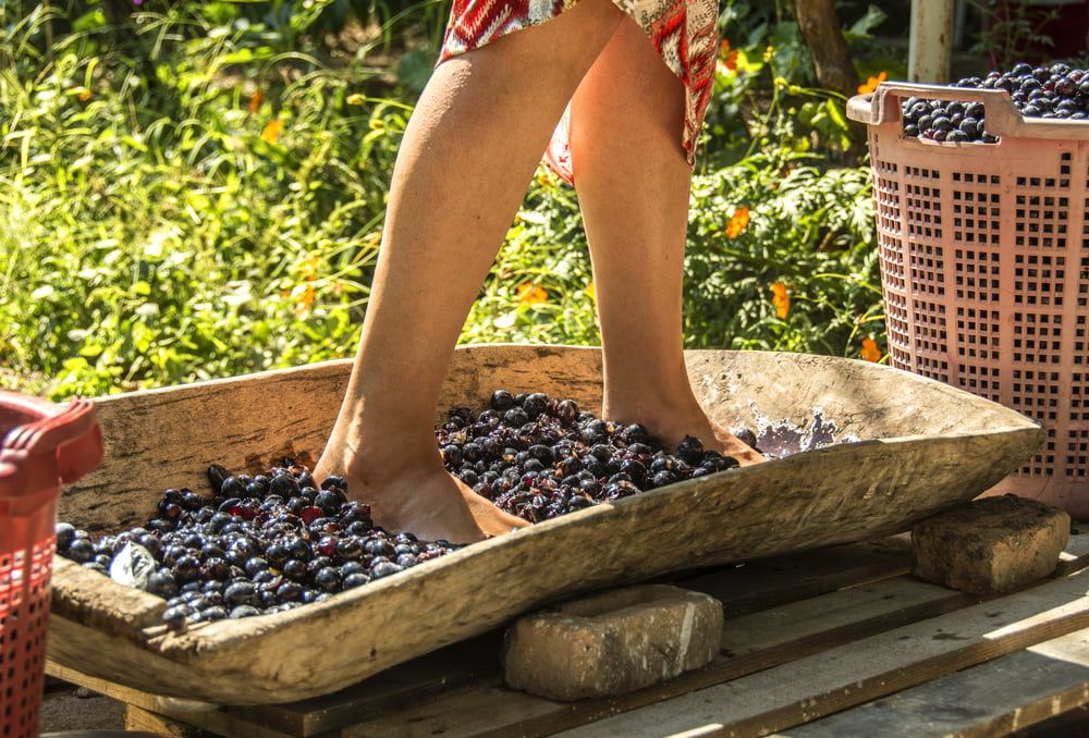 Woman crushing wine grapes with feet