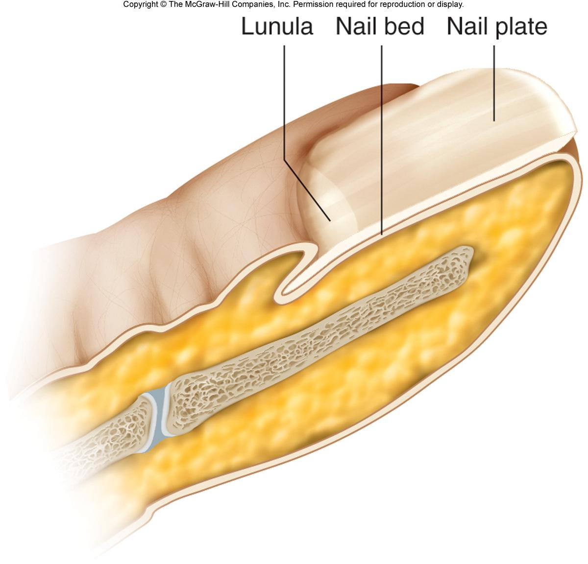 Skin - Integument Pictures | Chandler Physical Therapy