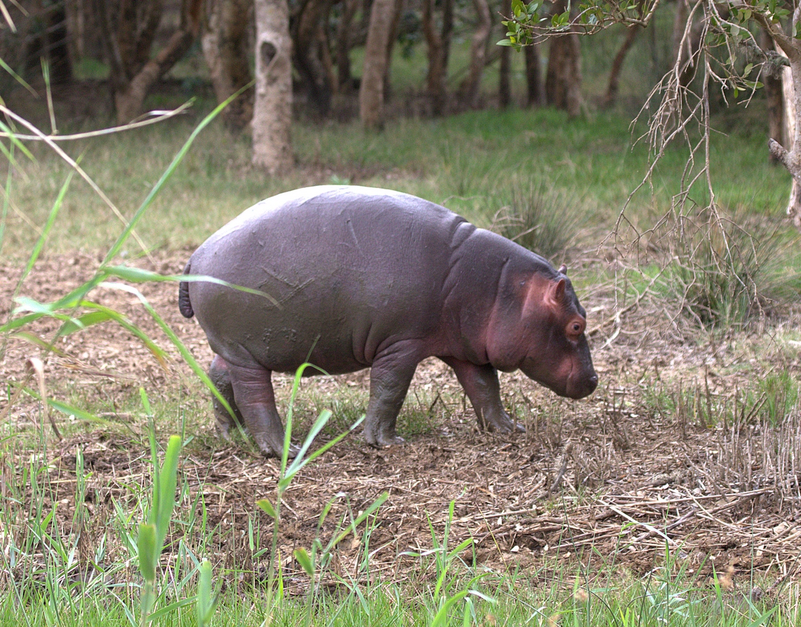 baby hippo (Copy).jpg