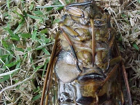 http://drkaae.com/InsectCivilization/assets/Chapter_13_Cicadas_Leafhopperss_and_Others_files/image013.jpg