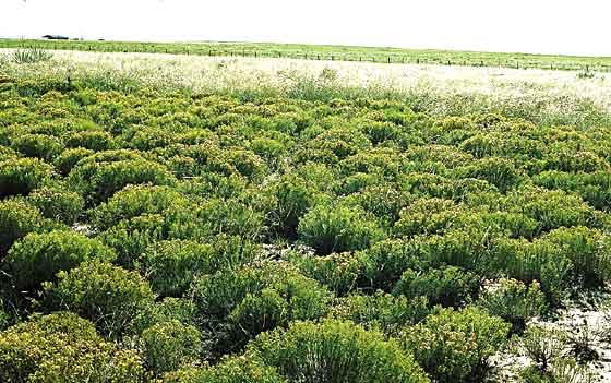 Broom snakeweed invading rangeland