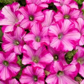 Supertunia® Raspberry Blast® - Petunia hybrid