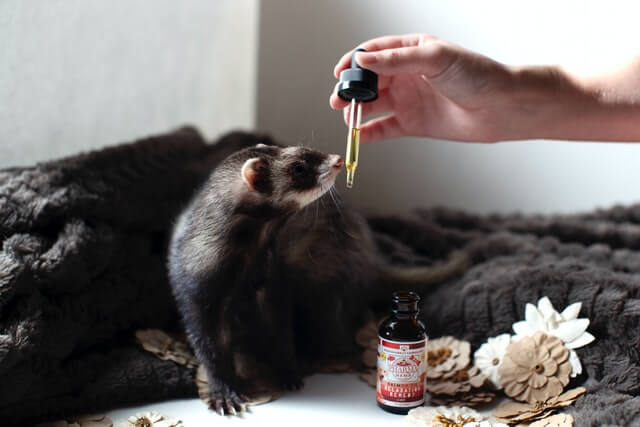 Why Is My Ferret So Itchy?