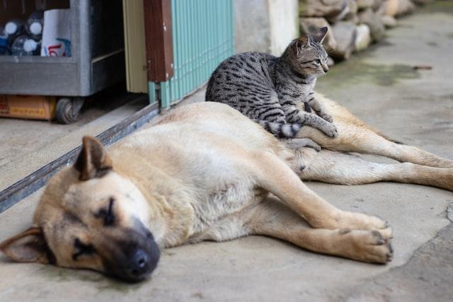 Cat sitting on a sleeping dog