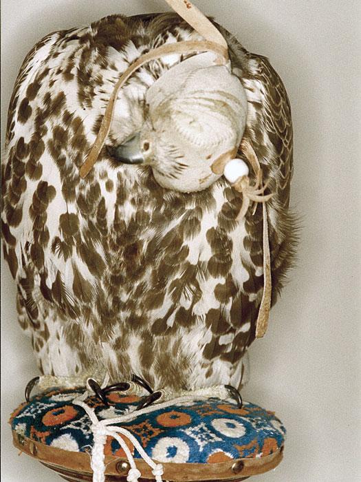 Saker falcon presented with severe torticollis