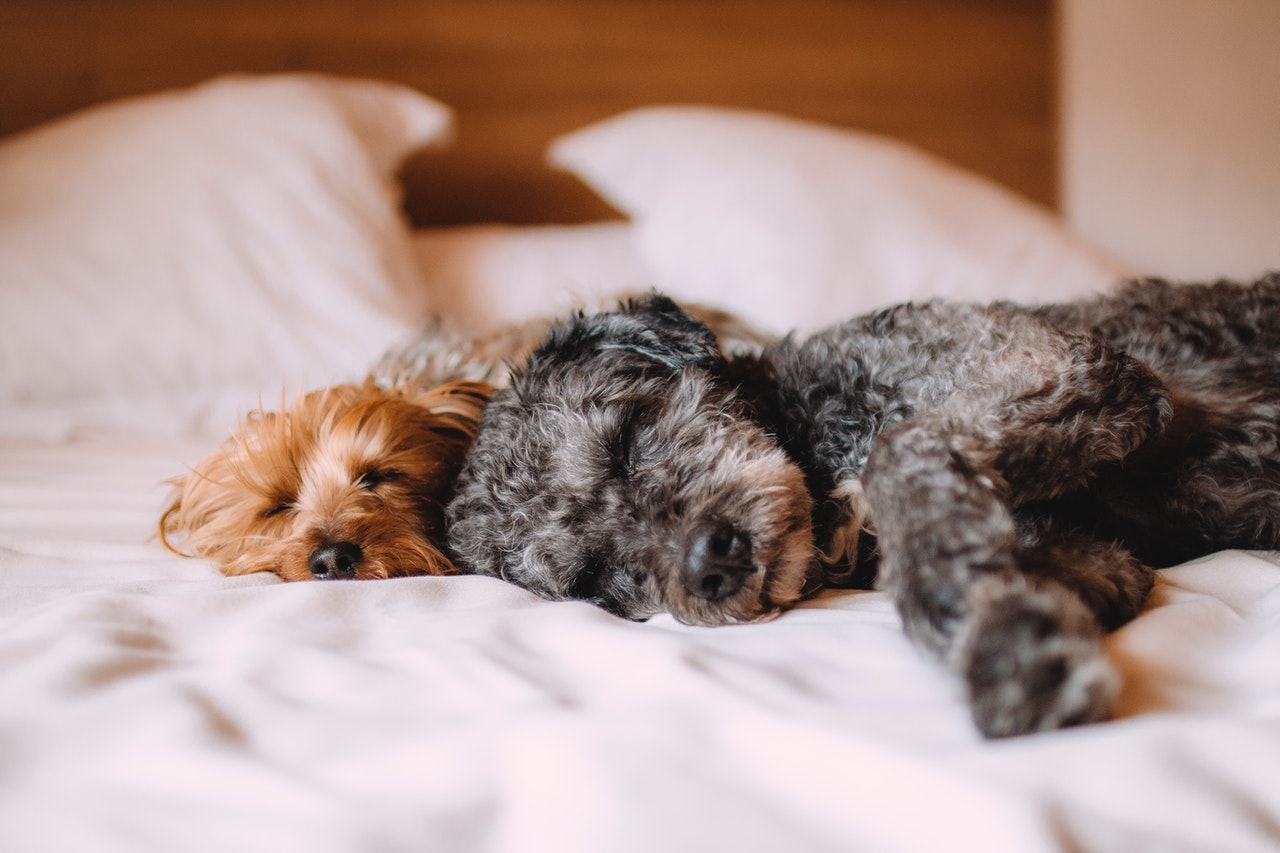 """Dogs lying in bed   14 Simple Steps to Finally Get Rid of """"an Animal Lives Here"""" smell."""