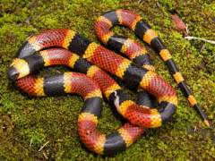 dangerous coral snake