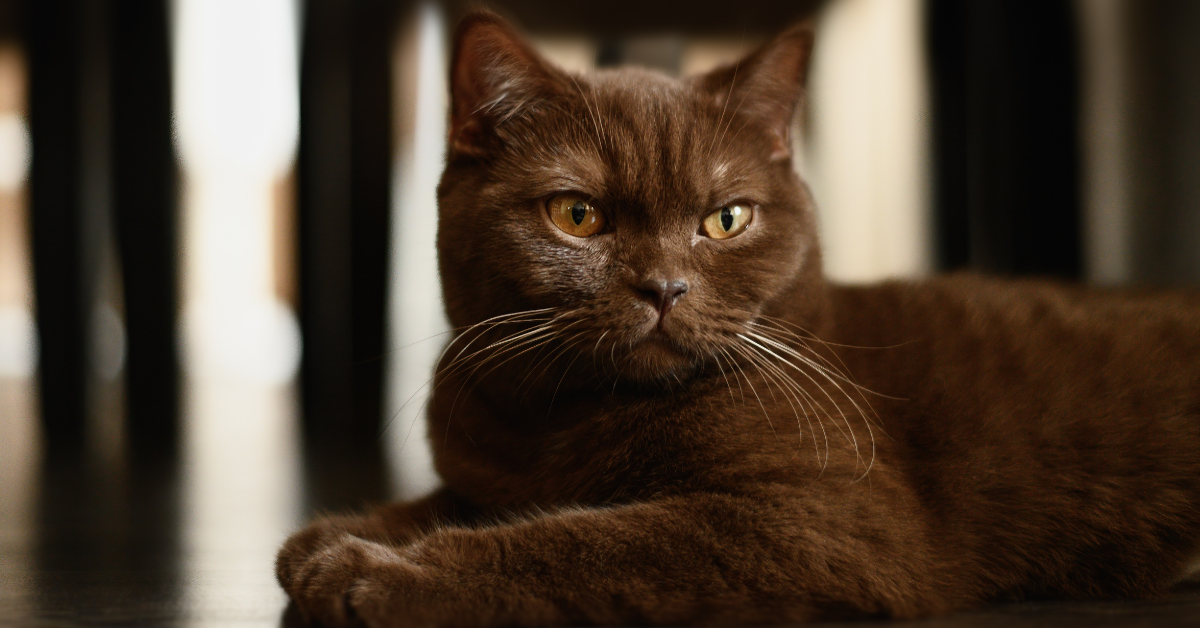 A rare cinnamon colored cat.  This cat needs two recessive genes for primary color to occur.