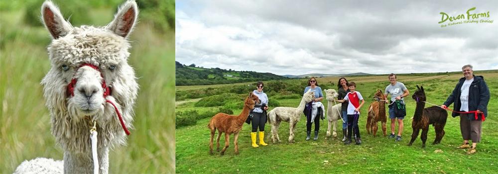 Enjoy a family activity with Lydford Gorge Alpaca walking in Devon.