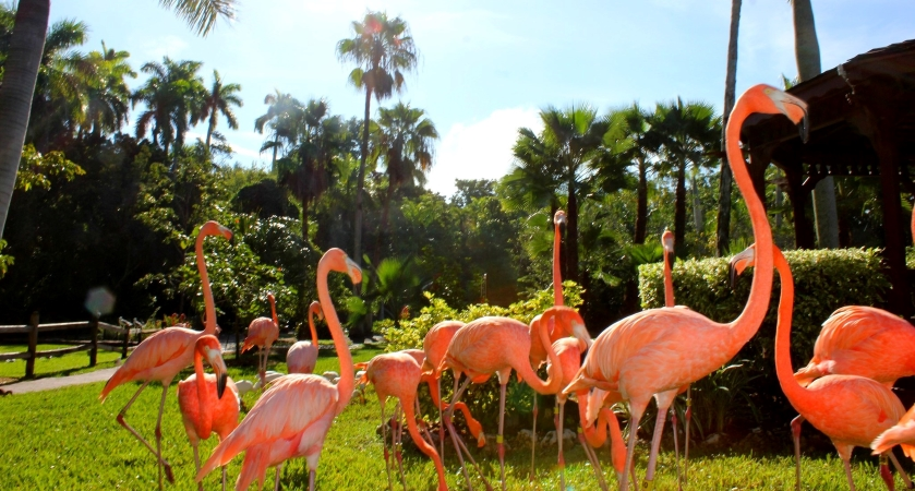 flamingos at Sarasota Jungle Gardens