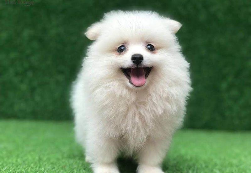Đặc điểm về loài chó dễ thương này