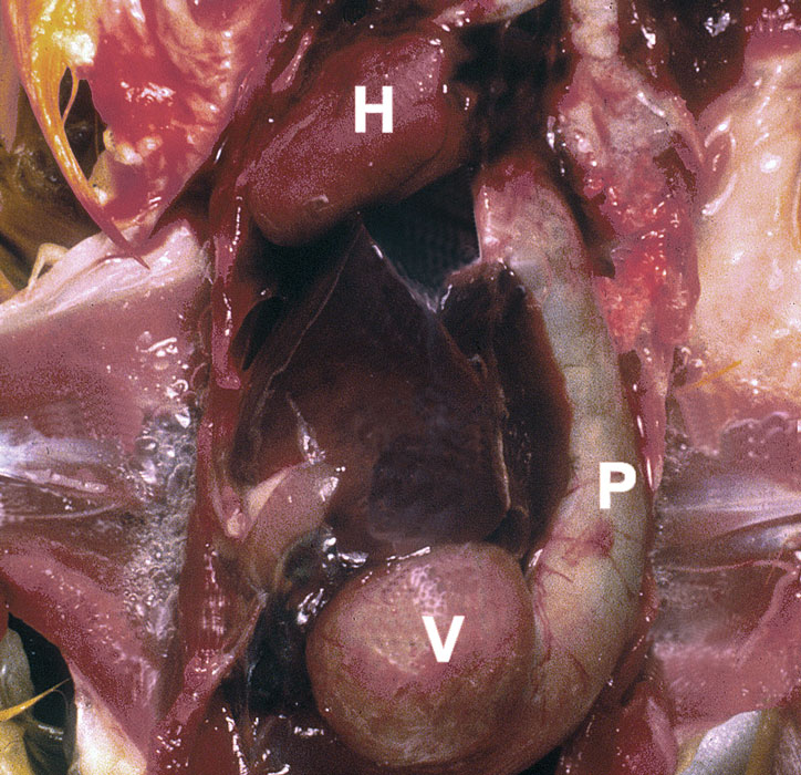 Marked dilatation of the proventriculus in a macaw