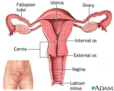 Anatomy of the Vagina, Cervix, Uterus