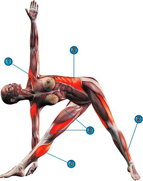 trikonasana-posizione-del-triangolo