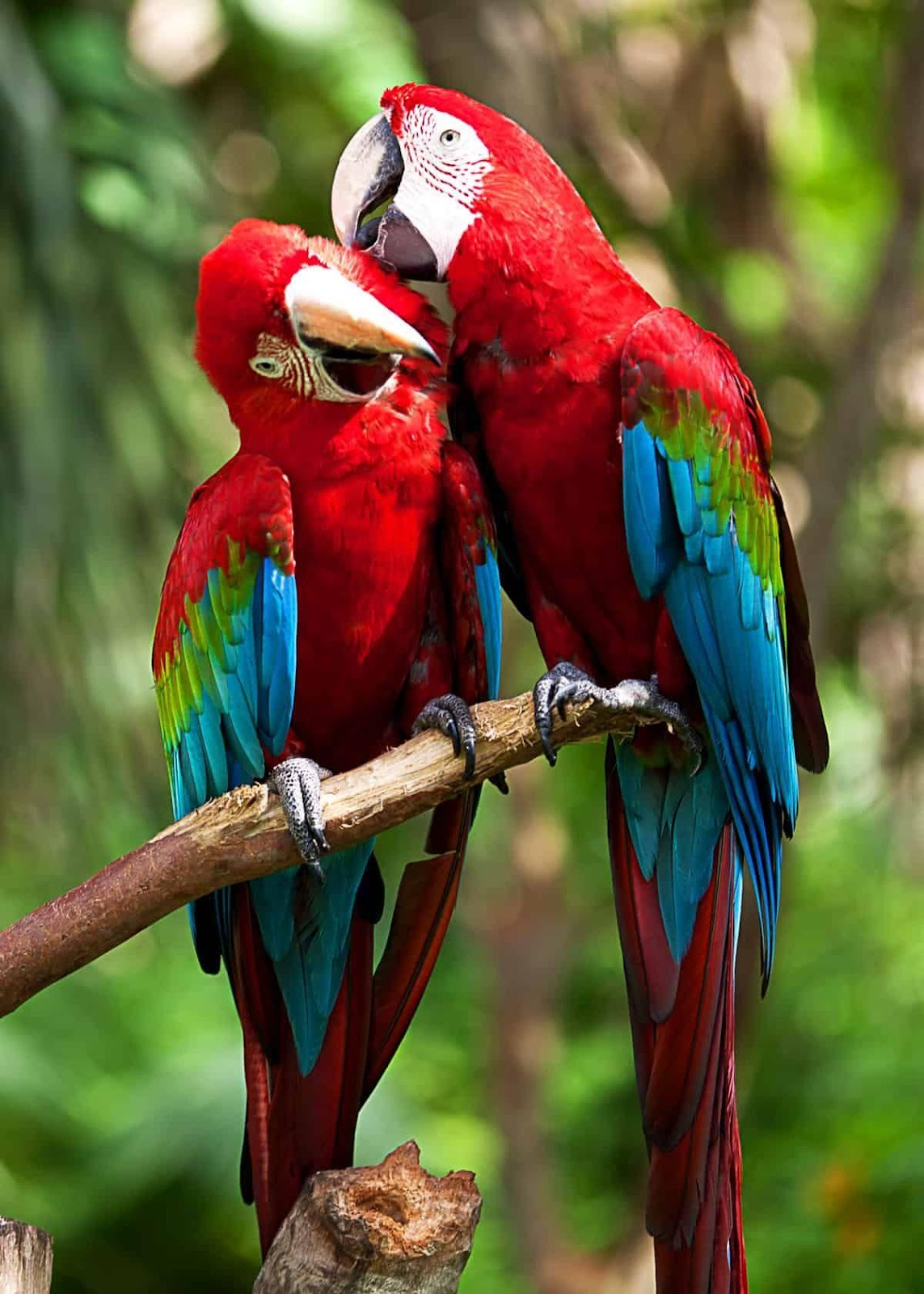 22 Scarlet Macaw Facts: Guide to the Beautiful Ara macao ...