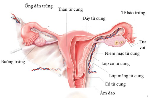 Mối quan hệ giữa độ dày tử cung và khả năng mang thai