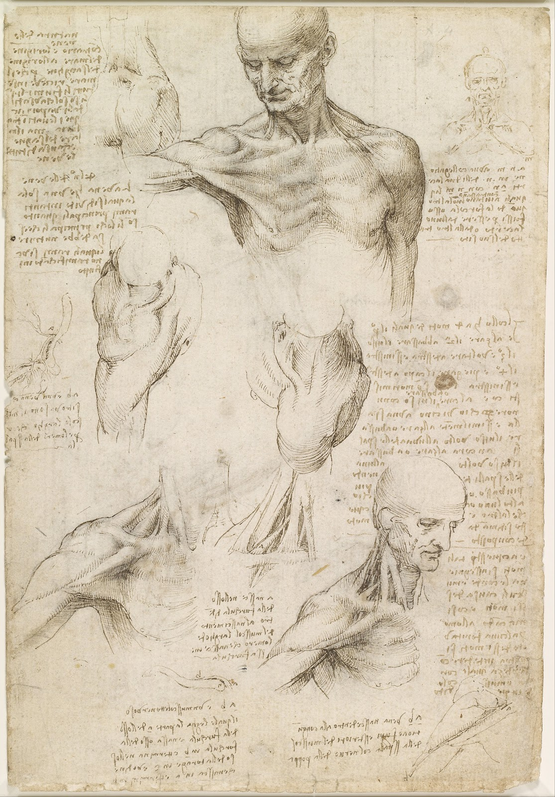 One of Da Vinci's anatomical drawings, a realistic depiction of musculature.