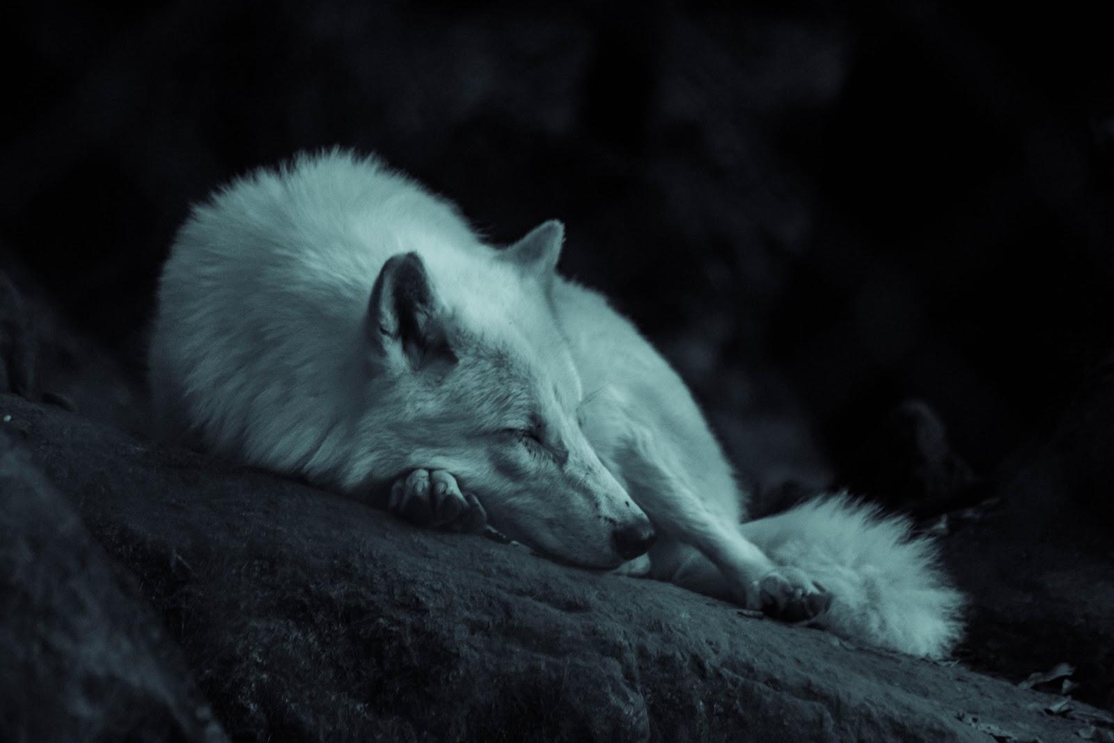 Dark image of a white fox sleeping