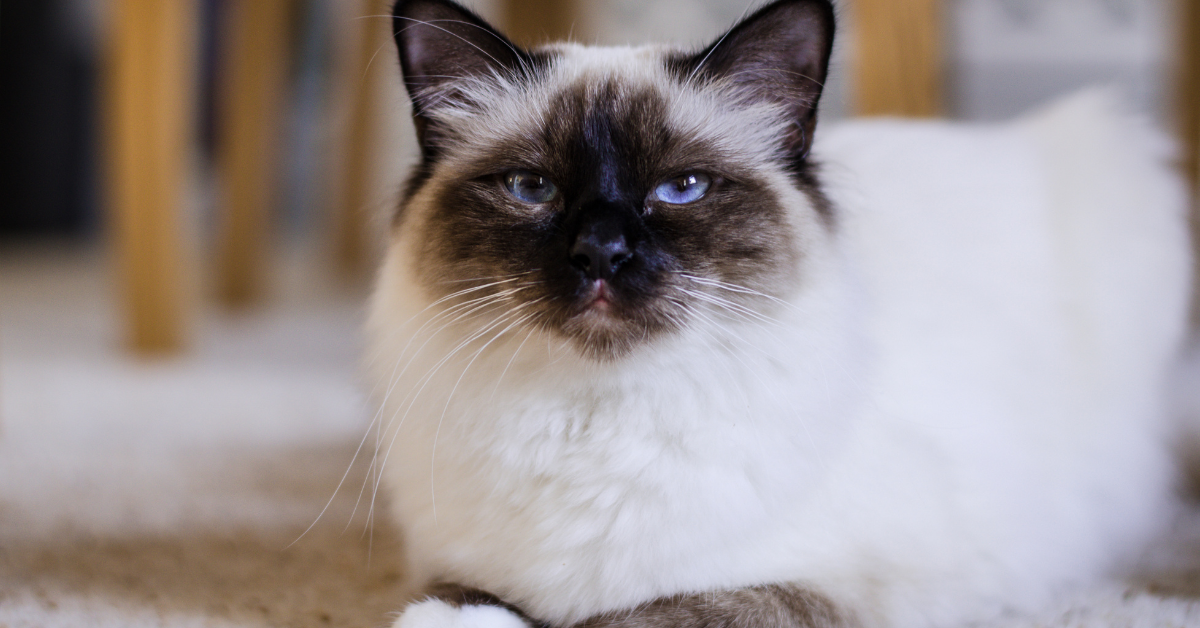 A Burmese.  This was bred for a Siamese cat and a cat originating from Burma.