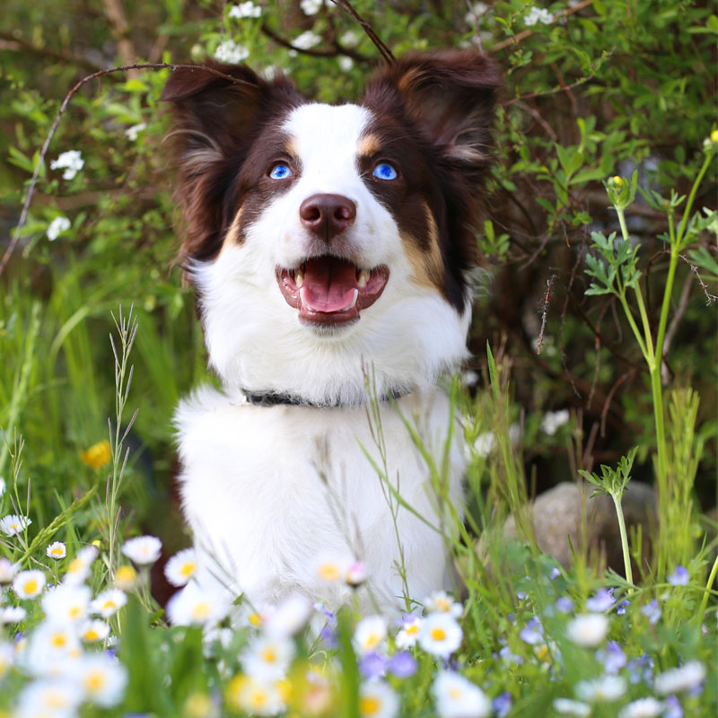 BorrowMyDoggy Border Collie in pretty flowers