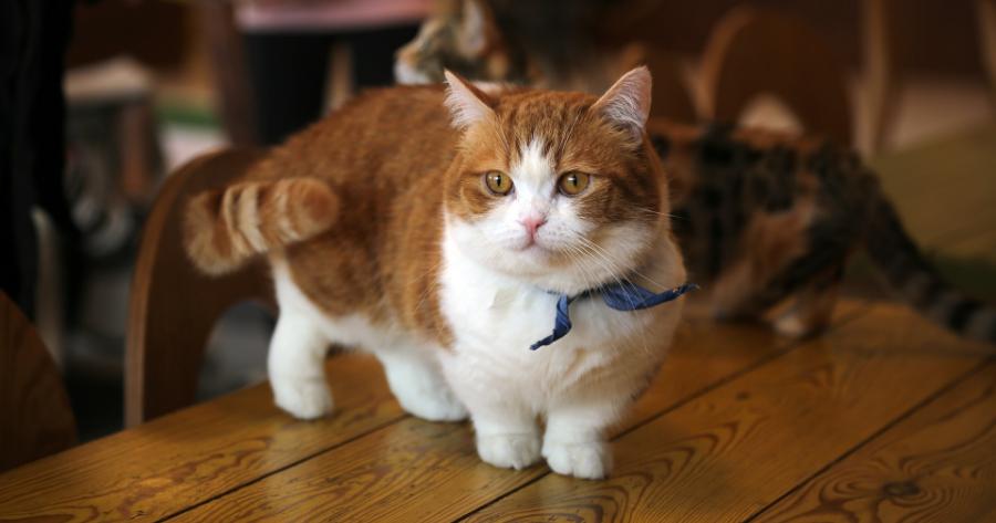 gatto-munchkin