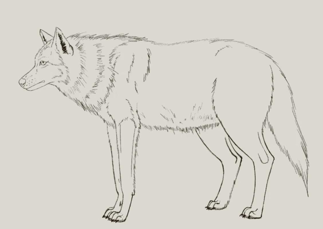 draw legs on a wolf