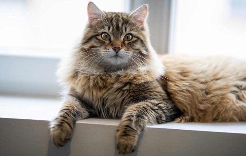 đặc điểm mèo siberian