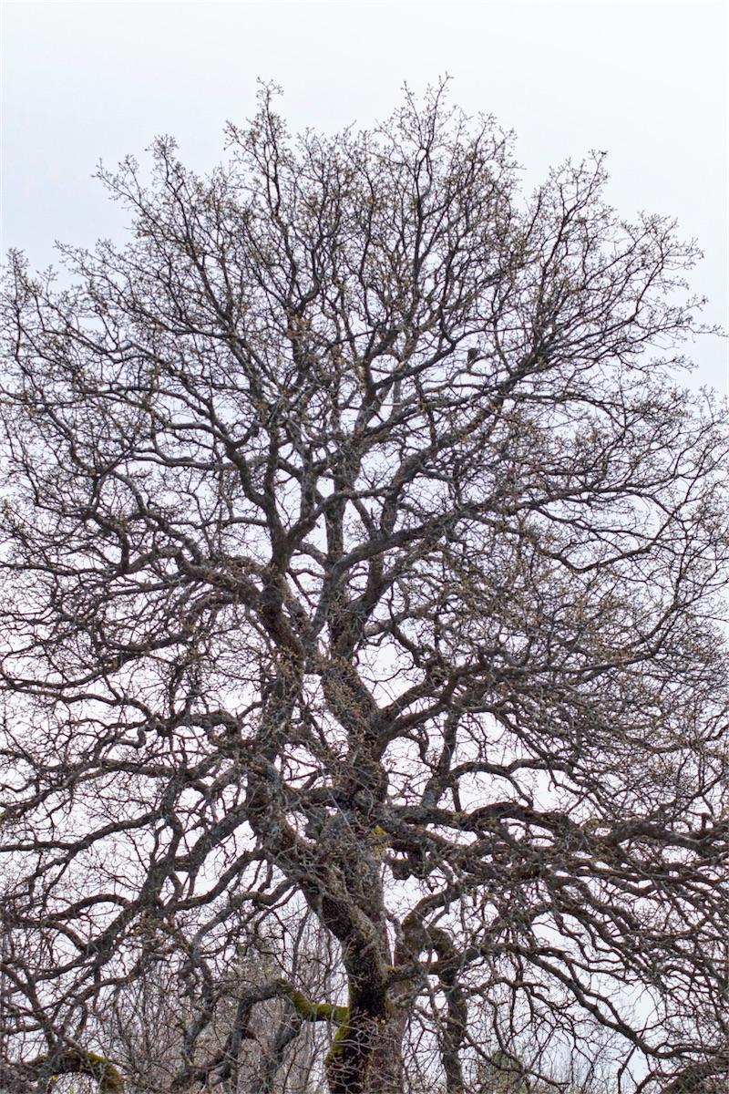 Oak Expression.jpg